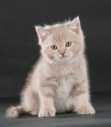 fawn mackerel tabby farberkl rung katze cat kat poes katt felis chatte gatto gato kot kedi. Black Bedroom Furniture Sets. Home Design Ideas