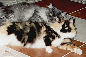 Maine Coon DianaTroi the Fabulous und HairyElvis the Fabulous