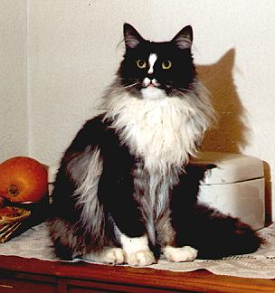 Nepomuk the Fabulous, Maine Coon black-smoke+white